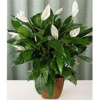 Spathiphyllum Plant, Israel