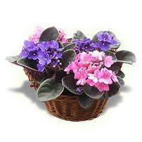 African Violet Basket, Israel